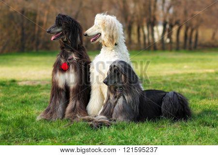 Three Dogs Breed Afghan Hound