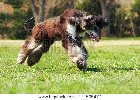 Dog Afghan Hound To Jump