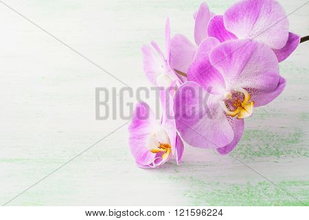 Pink Phalaenopsis Orchids Branch