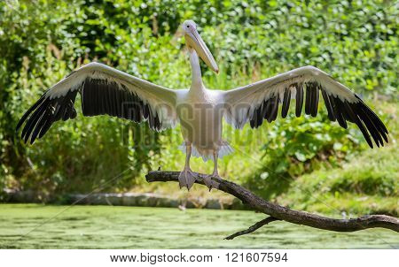 Pelican Shows His Wings