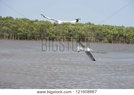 Flying Seagulls Feeding Over Mud Foreshore Area