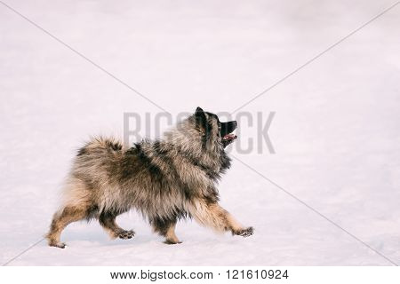 Young Keeshond, Keeshonden dog walk in snow