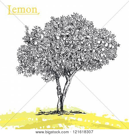 lemon tree sketch