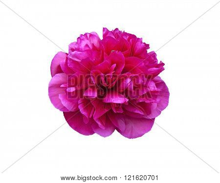 Red flower head isolated on a white background