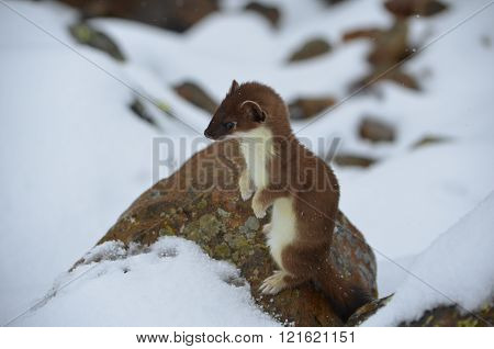 A curious ermine in the mountains of Buryatia