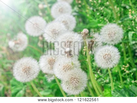 White Airy Dandelions
