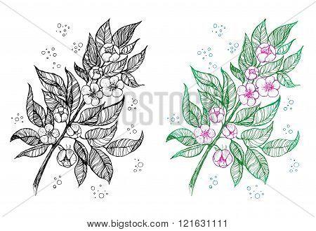 A branch of apple blossom, sakura