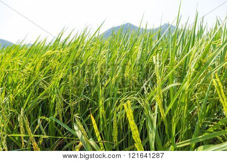 Green rice field sunny day mountain background
