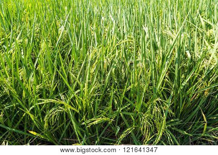 Green rice field sunny day nature industry