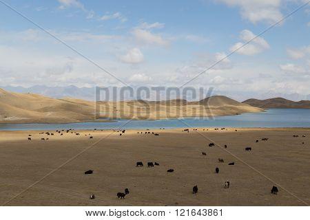 Grazing Yaks at Tulpar Lake in South Kyrgyzstan