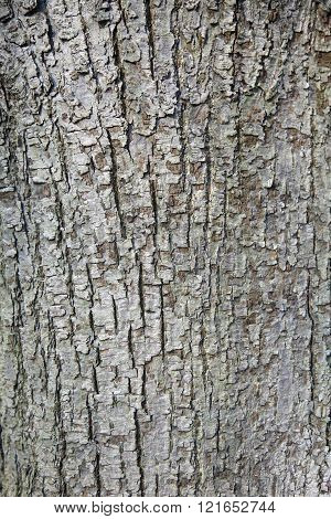 abstract pattern of bark on tilia cordata or small leaved linden