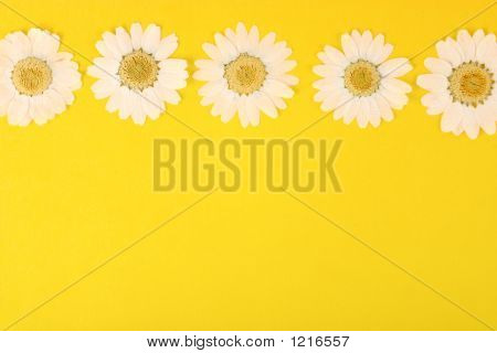 Pressed Daisies On Yellow