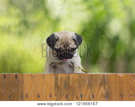 the puppy pug watching as a praying mantis sitting on the fence