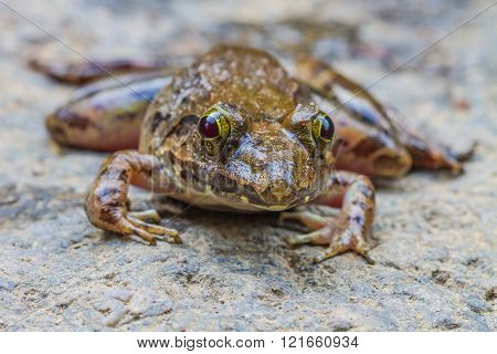 Closeup Of Asian River Frog