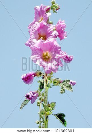 Beautiful Bristly hollyhock flowers in park in Ramat Gan Israel