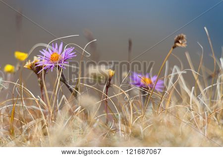 Beautiful flowers in the spring steppe landscape,