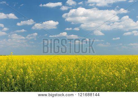 Rape Field Under Blue Cloudy Sky