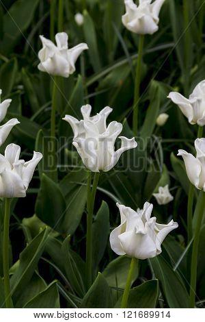 A White Tulip Liliales