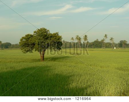 Picturesque Scene Of A Paddy Field