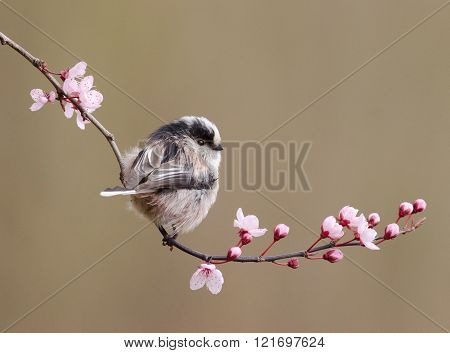 Long Tailed Tit On Blossom