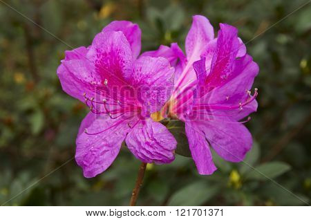 Double Purple Azalea Blossom