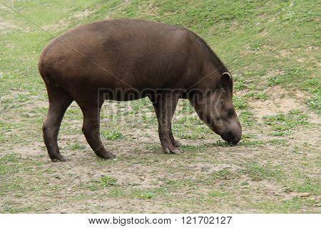 A Wild Animal South American Tapir Eating Grass.