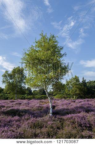 Heather Tree