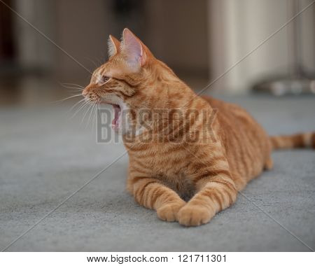 Sleepy orange cat showing both paws