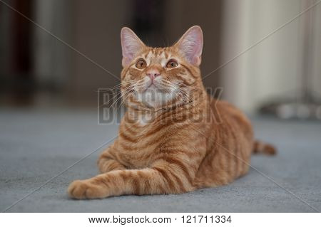 Orange cat lying down with chin up.