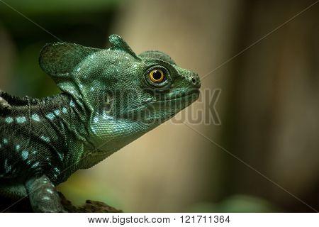 Basilisk Lizard Closeup