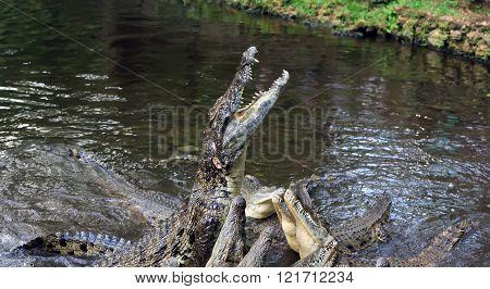 Crocodile In Water. Kenya, Afrca