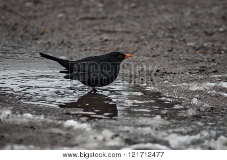 Male Blackbird, Turdus merala, walk in the winter