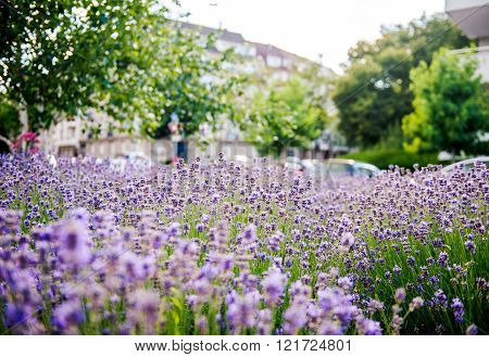 Lavender field seen in the city with defocused urban environemnt in the background
