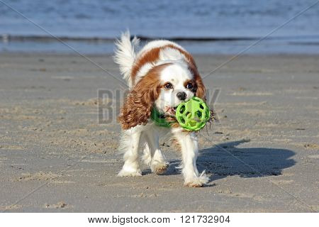 Spaniel with a Ball