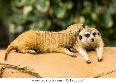 Meerkat Resting On Ground.