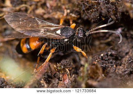Ichneumon sarcitorius parasitic wasp