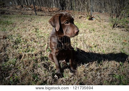 A chocolate retriever Labrador pup sitting outside