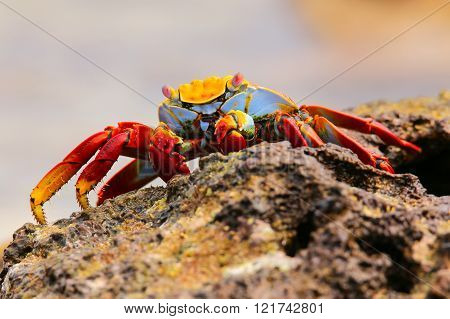 Sally lightfoot crab (Grapsus grapsus) feeding on Chinese Hat island, Galapagos National Park, Ecuad
