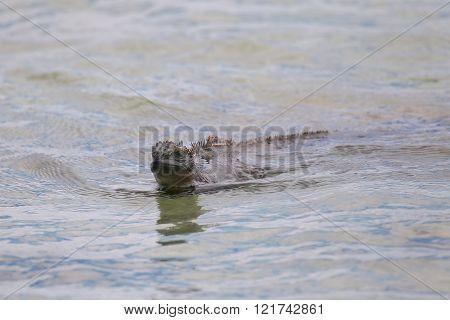 Marine Iguana Swimming Near Chinese Hat Island, Galapagos National Park, Ecuador.