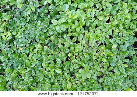 Green Small Leaves Wall Background Texture