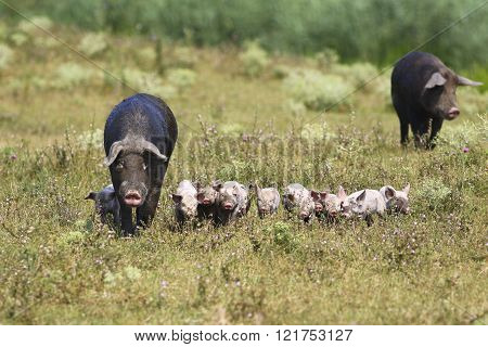 Sow And Baby Pigs