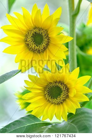 Two sunflowers together in spring sunshine