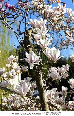 The flowers of magnolia in march