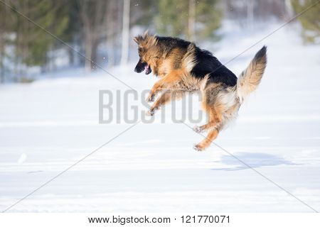 German shepherd dog jumping in snow outdoor