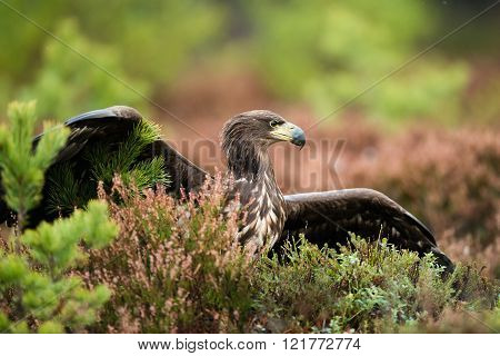 White-tailed eagle (Haliaeetus albicilla) on the ground acting aggressively.