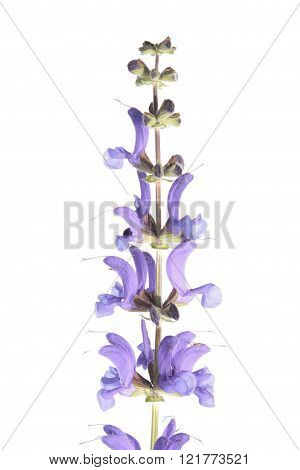 Meadow sage (Salvia pratensis) isolated on white