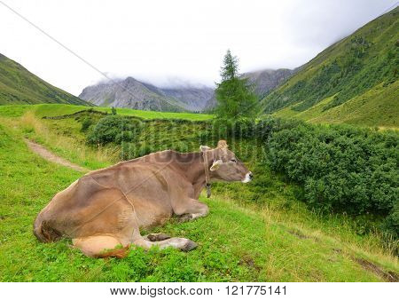 Cow in the mountain meadow.