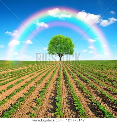 Spring field with tree and rainbow.