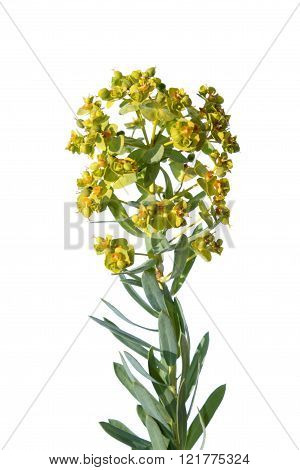 Spurge isolated on white