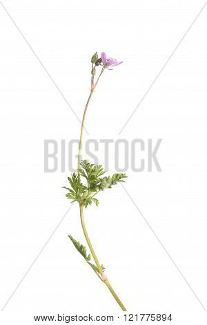 Common Stork's-bill plant isolated on white